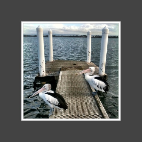 iphoneography  pelicans